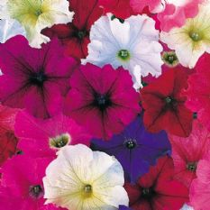 Petunia Compact Bedding mix - Appx 2000 seeds